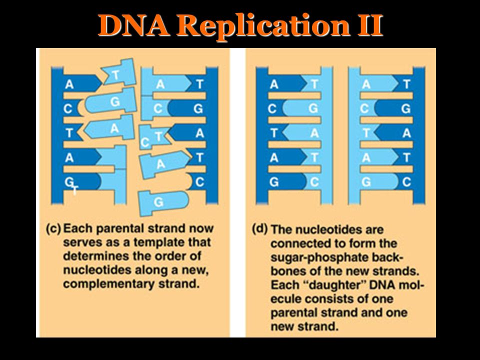 DNA Replication II