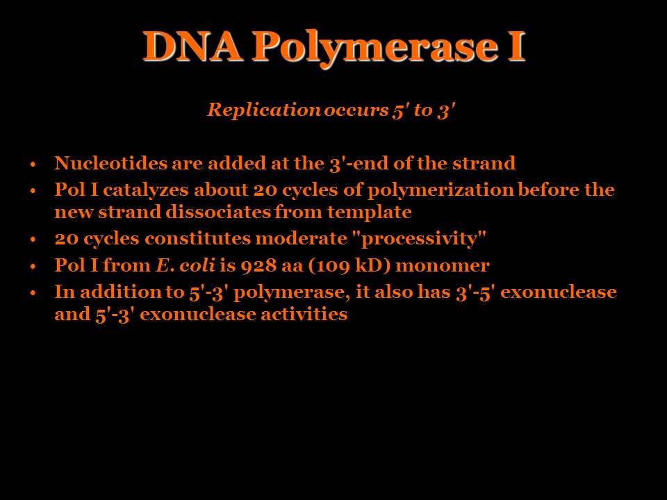 DNA Polymerase I Replication occurs 5' to 3' Nucleotides are added at the 3'-end of the strand Pol I catalyzes about 20 cycles of polymerization befor