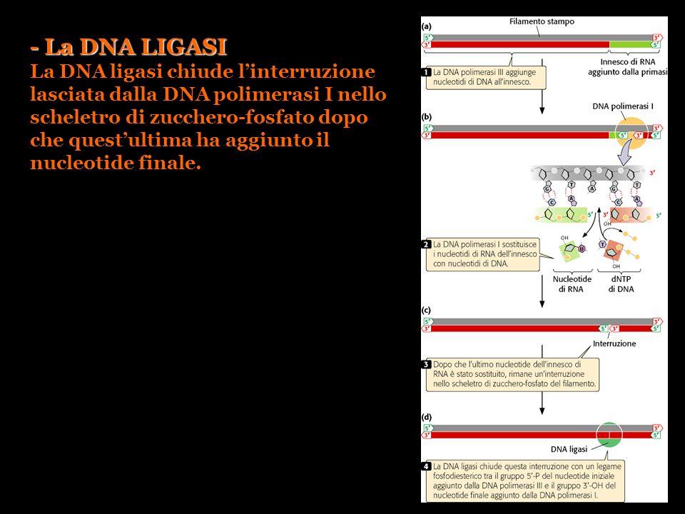 - La DNA LIGASI La DNA ligasi chiude linterruzione lasciata dalla DNA polimerasi I nello scheletro di zucchero-fosfato dopo che questultima ha aggiunt
