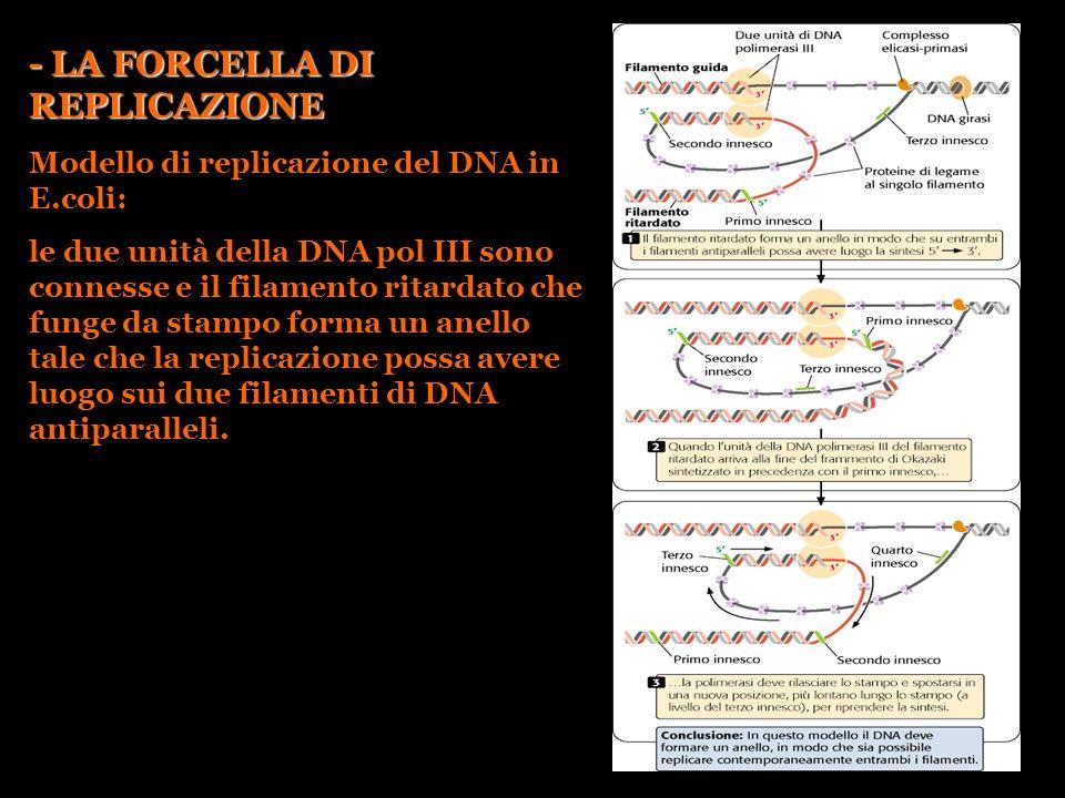 - LA FORCELLA DI REPLICAZIONE Modello di replicazione del DNA in E.coli: le due unità della DNA pol III sono connesse e il filamento ritardato che fun