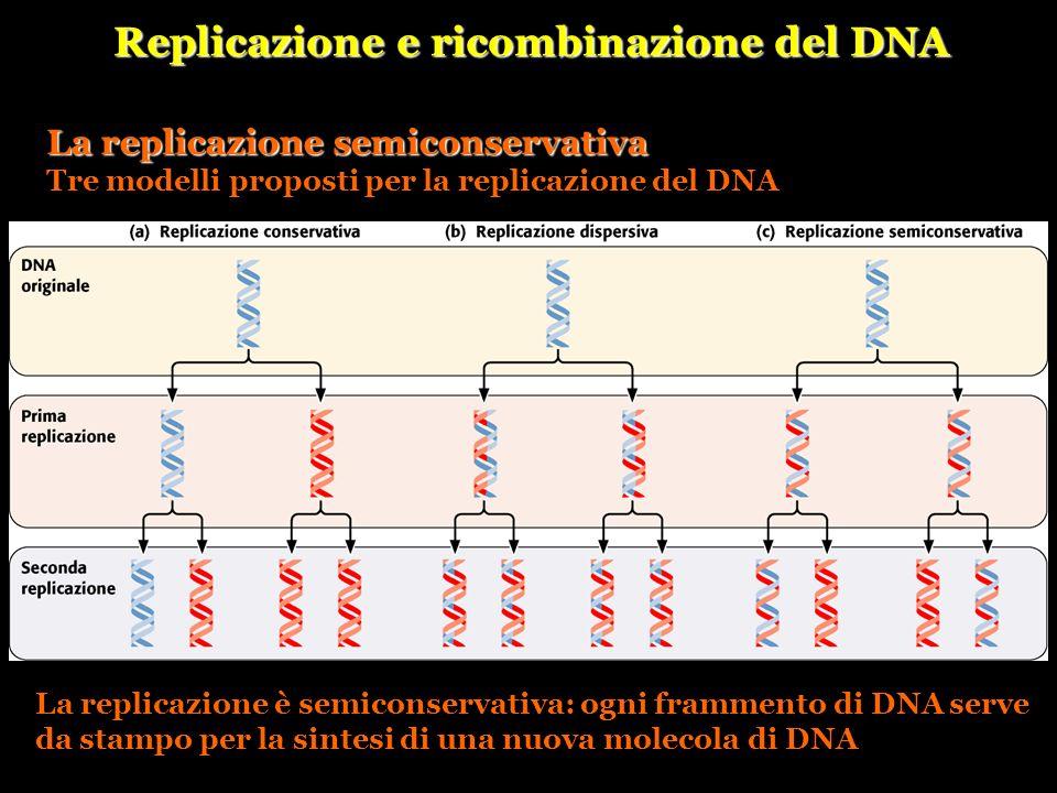 Replicazione e ricombinazione del DNA La replicazione semiconservativa Tre modelli proposti per la replicazione del DNA La replicazione è semiconserva