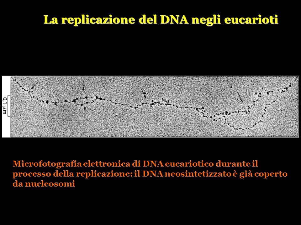 La replicazione del DNA negli eucarioti Microfotografia elettronica di DNA eucariotico durante il processo della replicazione: il DNA neosintetizzato