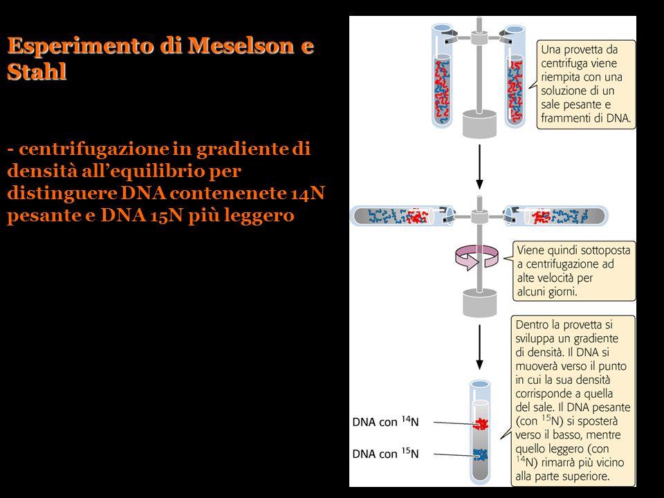 Esperimento di Meselson e Stahl - centrifugazione in gradiente di densità allequilibrio per distinguere DNA contenenete 14 N pesante e DNA 15 N più le
