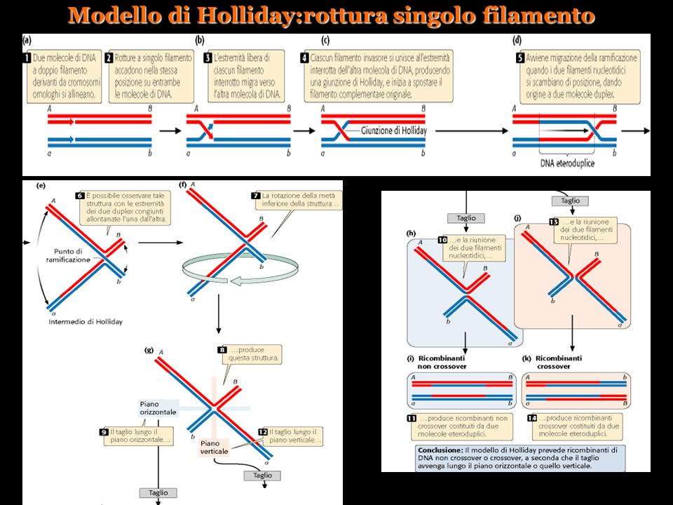 Modello di Holliday:rottura singolo filamento
