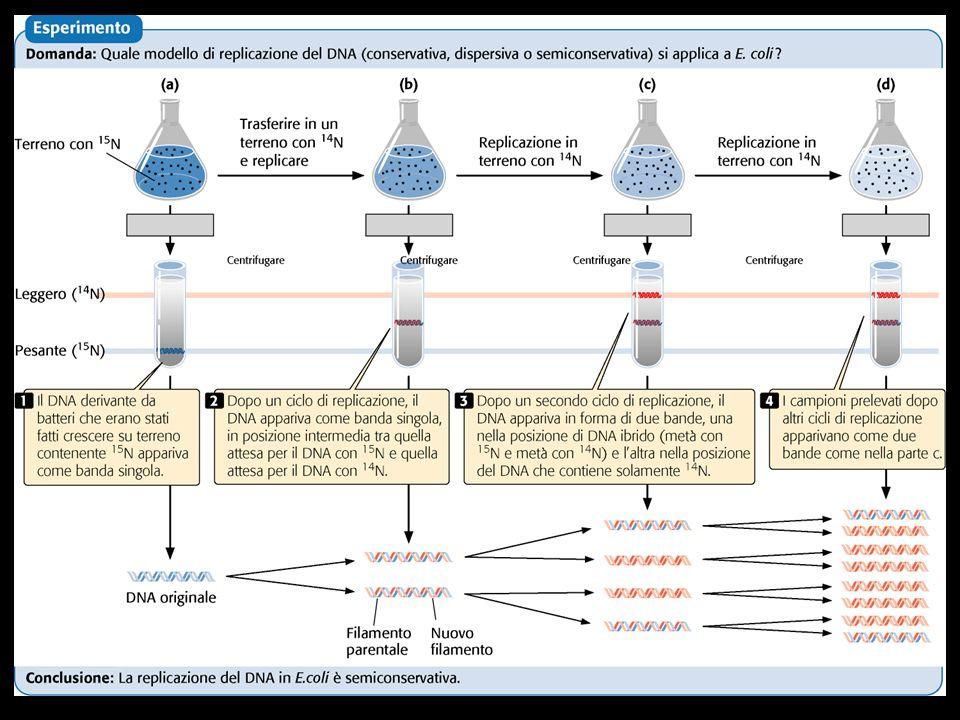 - LA FORCELLA DI REPLICAZIONE Modello di replicazione del DNA in E.coli: le due unità della DNA pol III sono connesse e il filamento ritardato che funge da stampo forma un anello tale che la replicazione possa avere luogo sui due filamenti di DNA antiparalleli.