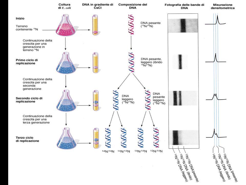 -LA FEDELTA DELLA REPLICAZIONE DEL DNA -selezione dei nucleotidi -correzione di bozze -riparazione dei malappaiamenti
