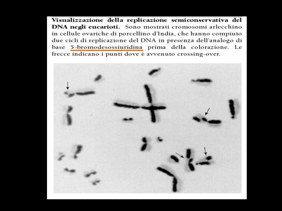 La replicazione del DNA batterico - LINIZIO In E.coli la replicazione ha inizio quando le proteine iniziatrici si legano a oriC, lorigine di replicazione, provocando lo svolgimento di un breve tratto di DNA.