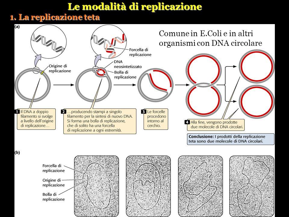 Le modalità di replicazione 1. La replicazione teta Comune in E.Coli e in altri organismi con DNA circolare