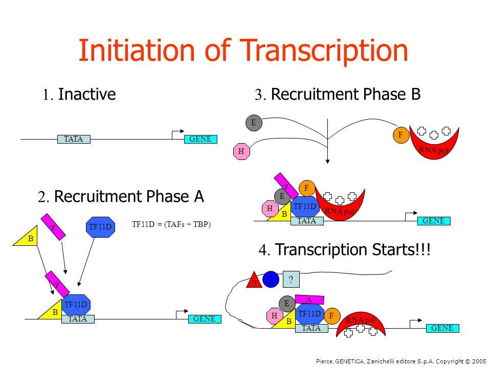 Pierce, GENETICA, Zanichelli editore S.p.A. Copyright © 2005 Initiation of Transcription TATAGENE 1. Inactive H E F RNA pol 3. Recruitment Phase B TAT