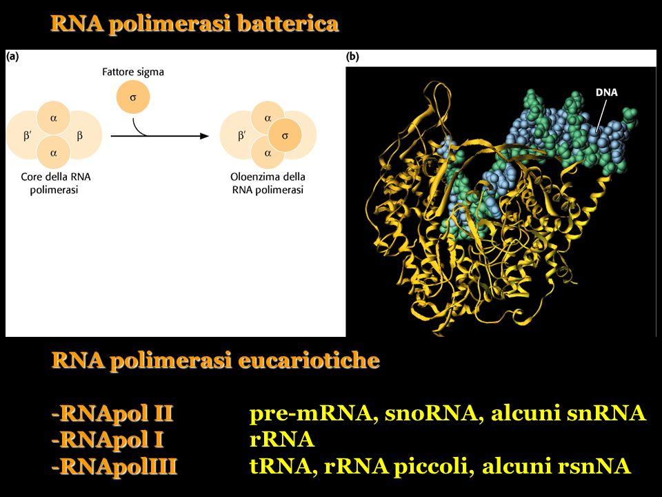 RNA polimerasi batterica RNA polimerasi eucariotiche -RNApol II -RNApol IIpre-mRNA, snoRNA, alcuni snRNA -RNApol I -RNApol IrRNA -RNApolIII -RNApolIII