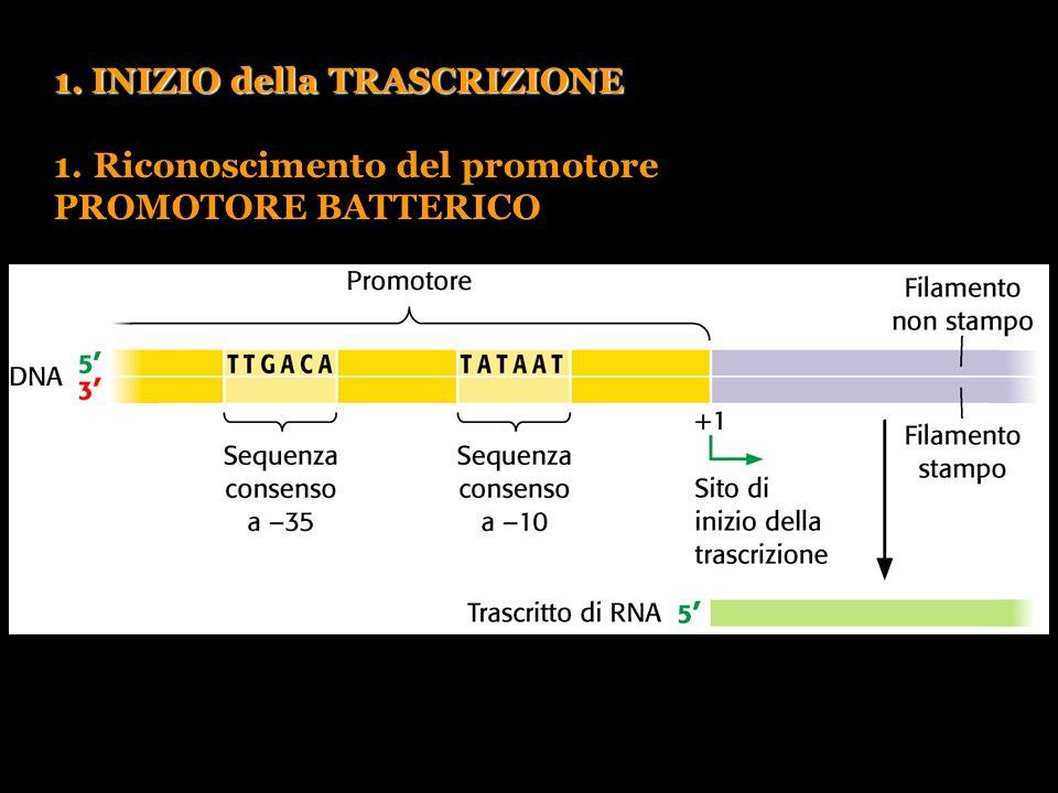 Pierce, GENETICA, Zanichelli editore S.p.A. Copyright © 2005 1. INIZIO della TRASCRIZIONE 1.Riconoscimento del promotore PROMOTORE BATTERICO