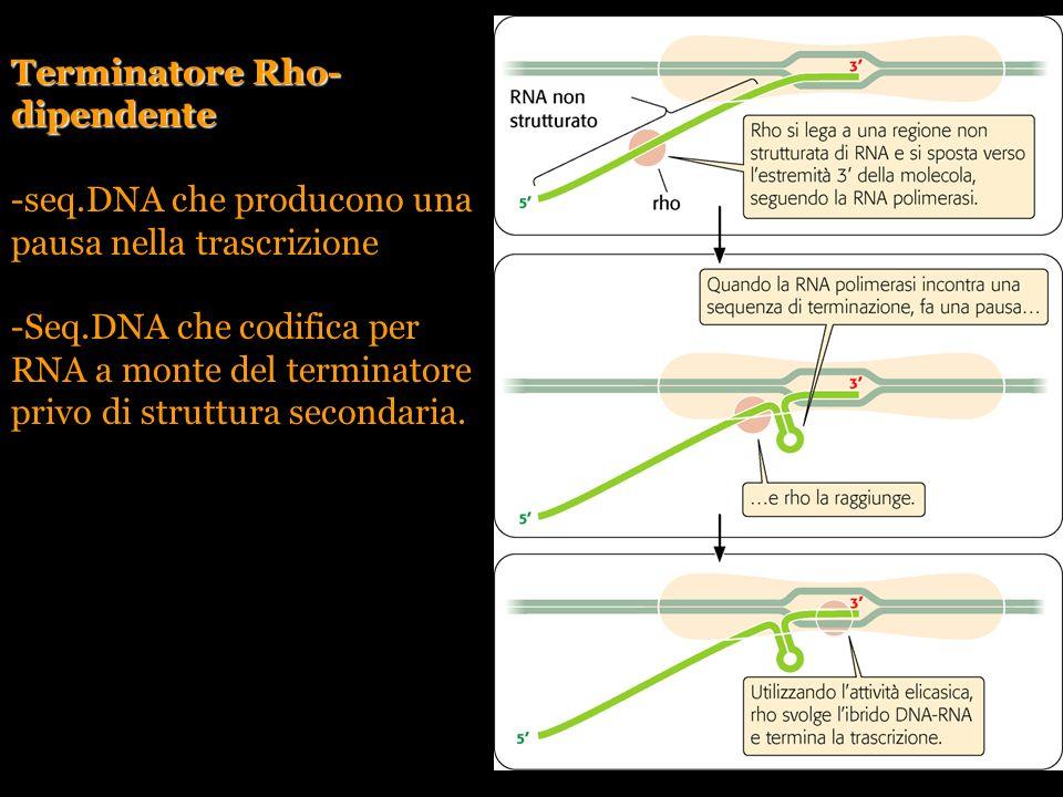 Pierce, GENETICA, Zanichelli editore S.p.A. Copyright © 2005 Terminatore Rho- dipendente -seq.DNA che producono una pausa nella trascrizione -Seq.DNA