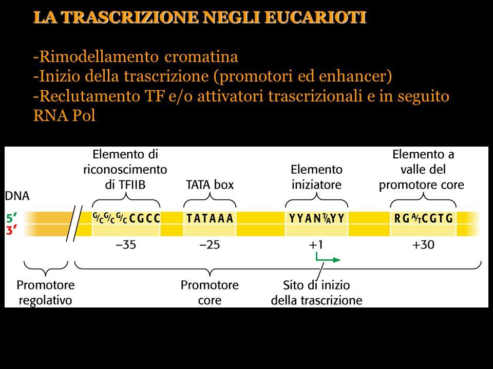 Pierce, GENETICA, Zanichelli editore S.p.A. Copyright © 2005 LA TRASCRIZIONE NEGLI EUCARIOTI -Rimodellamento cromatina -Inizio della trascrizione (pro