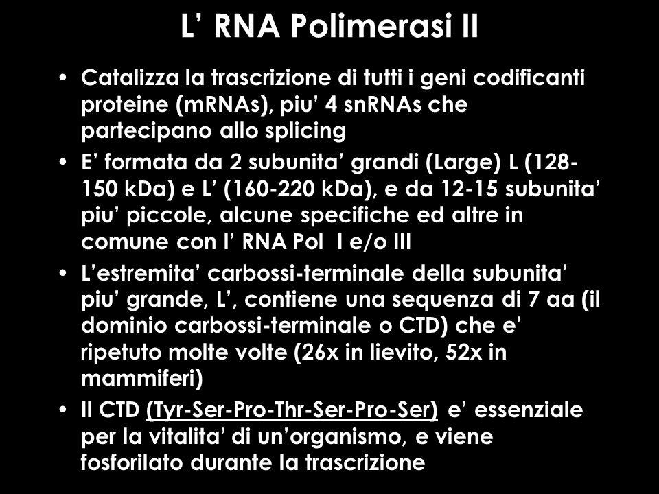 L RNA Polimerasi II Catalizza la trascrizione di tutti i geni codificanti proteine (mRNAs), piu 4 snRNAs che partecipano allo splicing E formata da 2