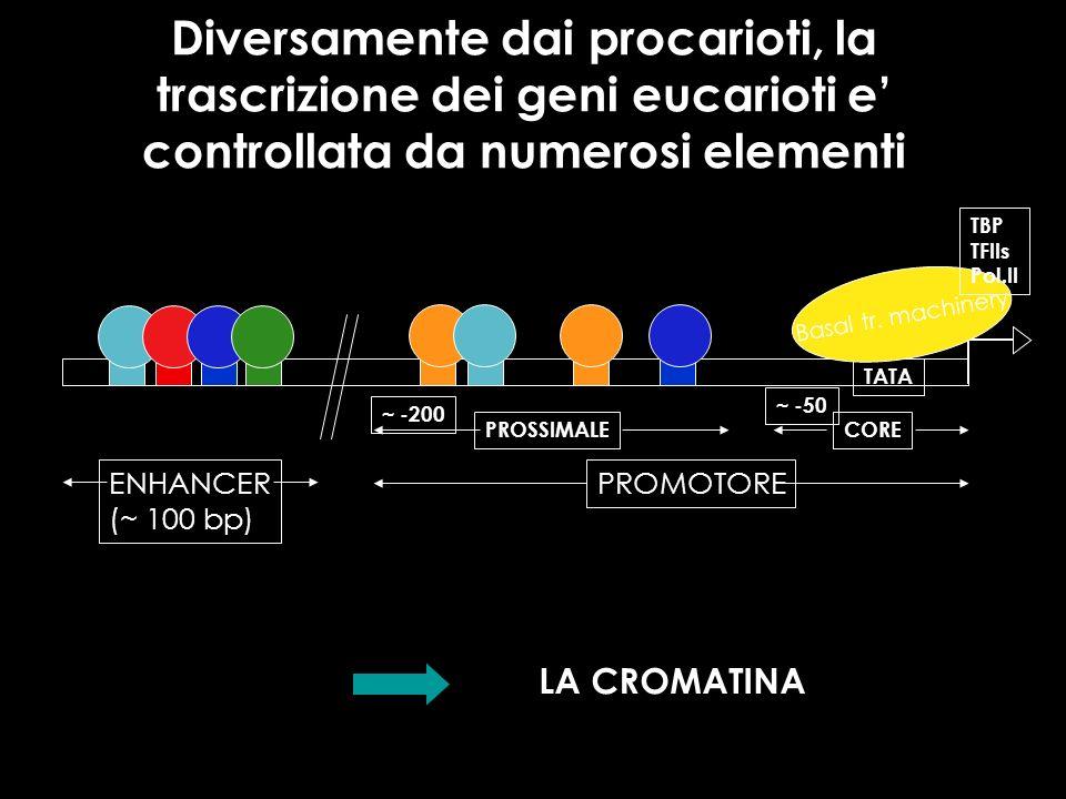 Diversamente dai procarioti, la trascrizione dei geni eucarioti e controllata da numerosi elementi TATA Basal tr. machinery TBP TFIIs Pol.II PROMOTORE