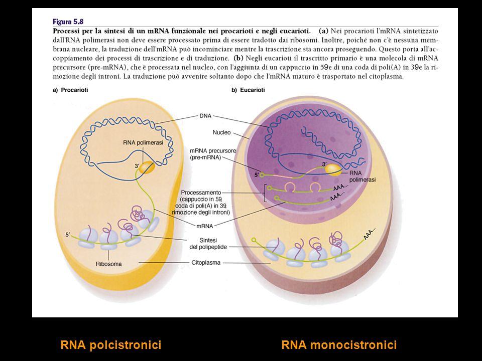 RNA polcistronici RNA monocistronici