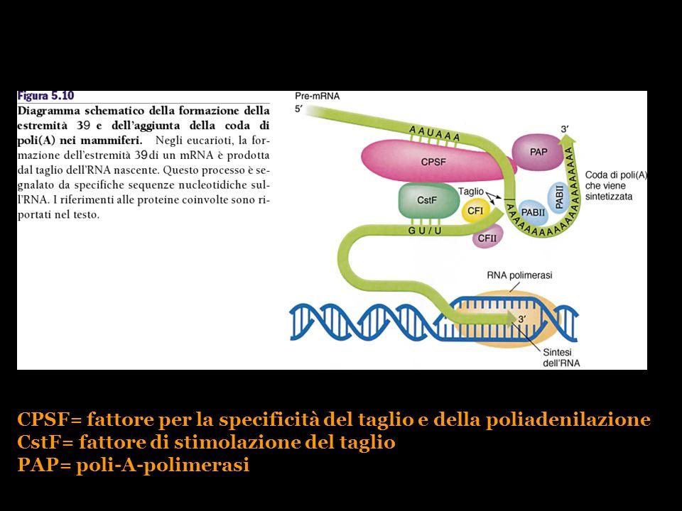CPSF= fattore per la specificità del taglio e della poliadenilazione CstF= fattore di stimolazione del taglio PAP= poli-A-polimerasi