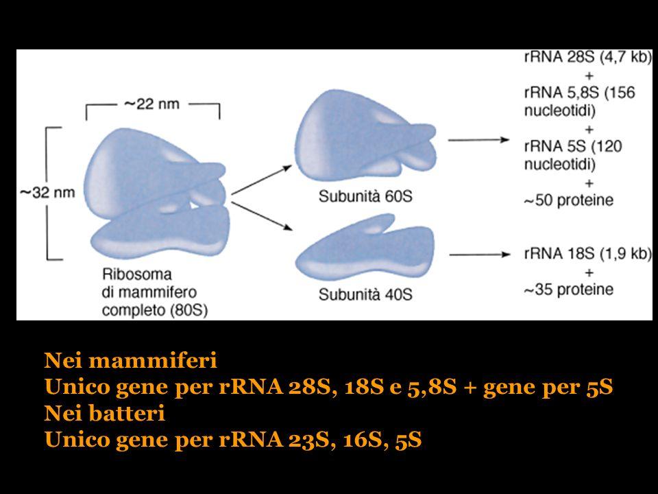 Nei mammiferi Unico gene per rRNA 28S, 18S e 5,8S + gene per 5S Nei batteri Unico gene per rRNA 23S, 16S, 5S