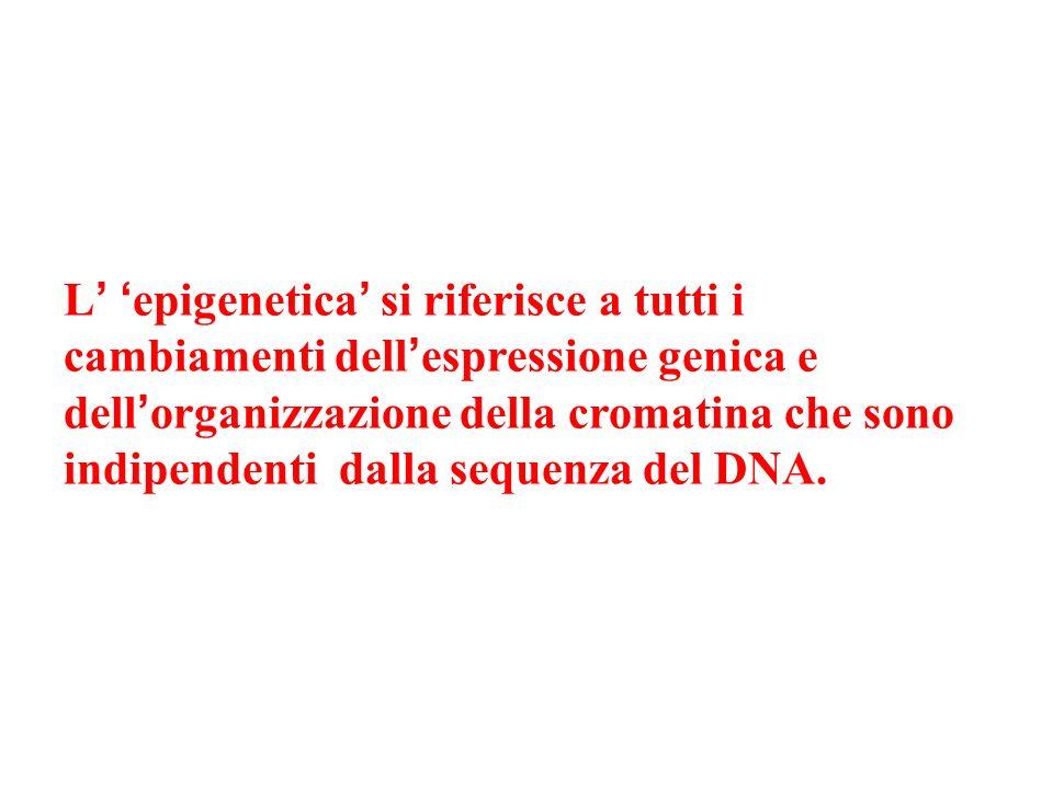 L epigenetica si riferisce a tutti i cambiamenti dell espressione genica e dell organizzazione della cromatina che sono indipendenti dalla sequenza de