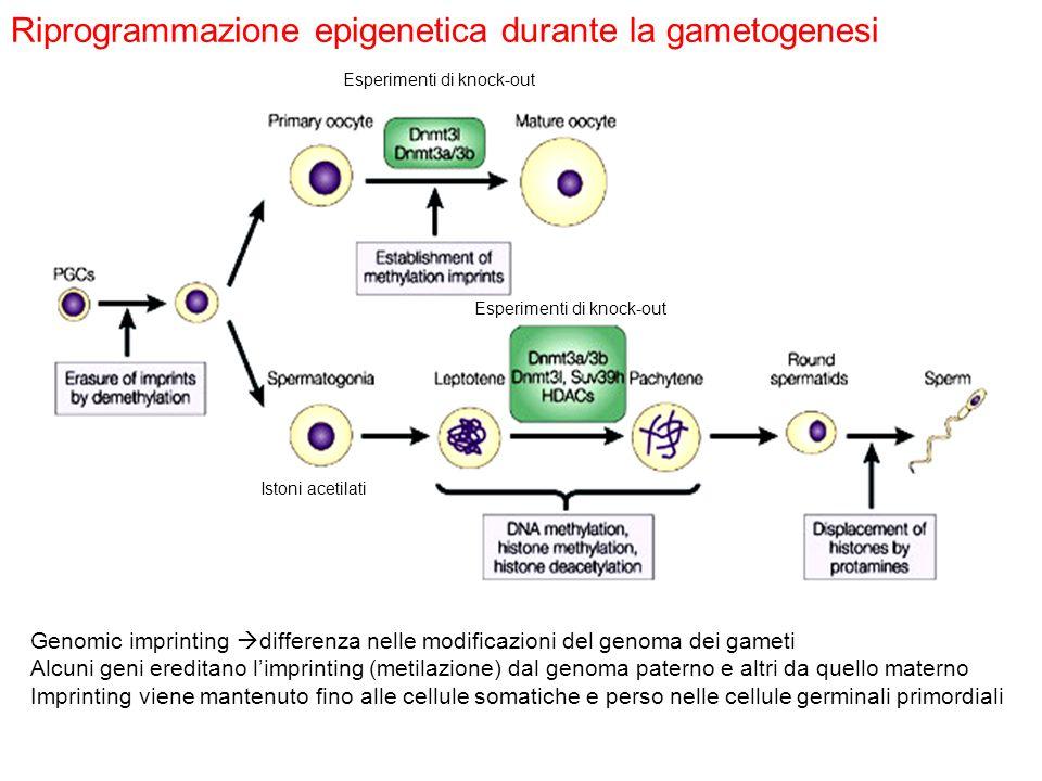 Riprogrammazione epigenetica durante la gametogenesi Genomic imprinting differenza nelle modificazioni del genoma dei gameti Alcuni geni ereditano lim