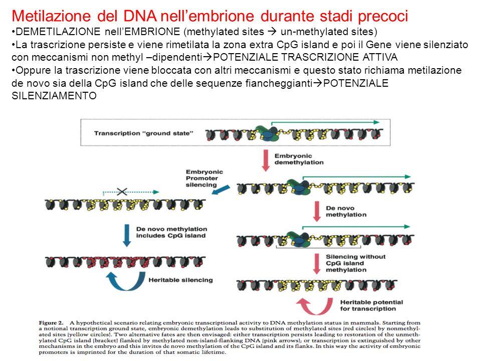 Metilazione del DNA nellembrione durante stadi precoci DEMETILAZIONE nellEMBRIONE (methylated sites un-methylated sites) La trascrizione persiste e vi