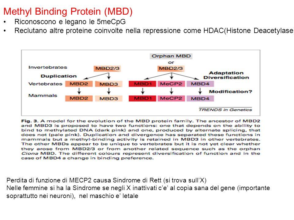 Methyl Binding Protein (MBD) Riconoscono e legano le 5meCpG Reclutano altre proteine coinvolte nella repressione come HDAC(Histone Deacetylase) Perdit
