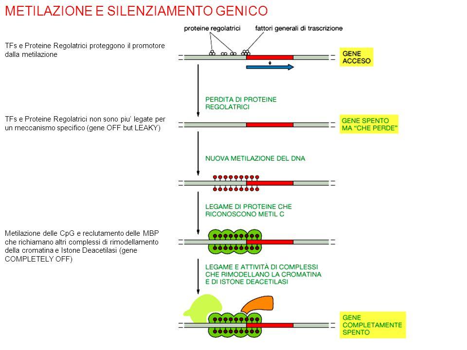 METILAZIONE E SILENZIAMENTO GENICO TFs e Proteine Regolatrici proteggono il promotore dalla metilazione TFs e Proteine Regolatrici non sono piu legate