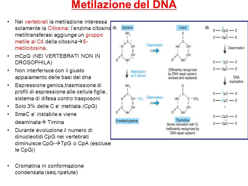 Metilazione del DNA Nei vertebrati la metilazione interessa solamente la Citosina: lenzima citosina metiltransferasi aggiunge un gruppo metile al C 5