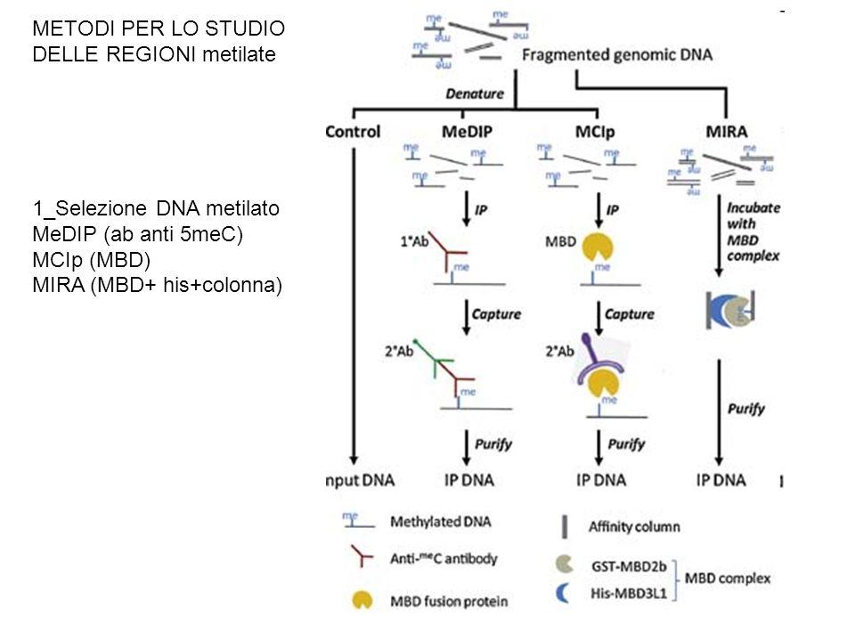 METODI PER LO STUDIO DELLE REGIONI metilate 1_Selezione DNA metilato MeDIP (ab anti 5meC) MCIp (MBD) MIRA (MBD+ his+colonna)