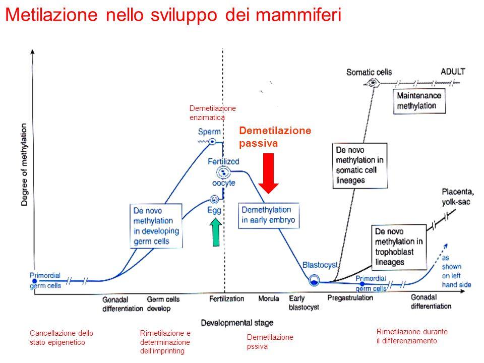 Metilazione nello sviluppo dei mammiferi Demetilazione passiva Cancellazione dello stato epigenetico Rimetilazione e determinazione dellimprinting Rim