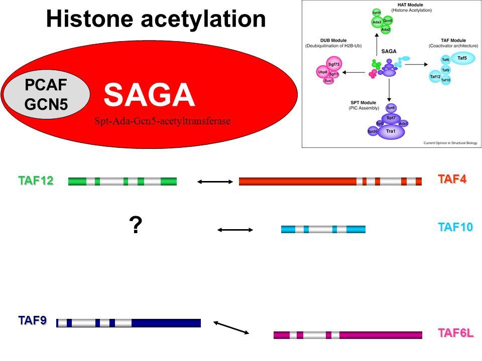 TAF12 TAF9 Histone acetylation TAF6L TAF4 TAF10 ? SAGA PCAF GCN5 Spt-Ada-Gcn5-acetyltransferase