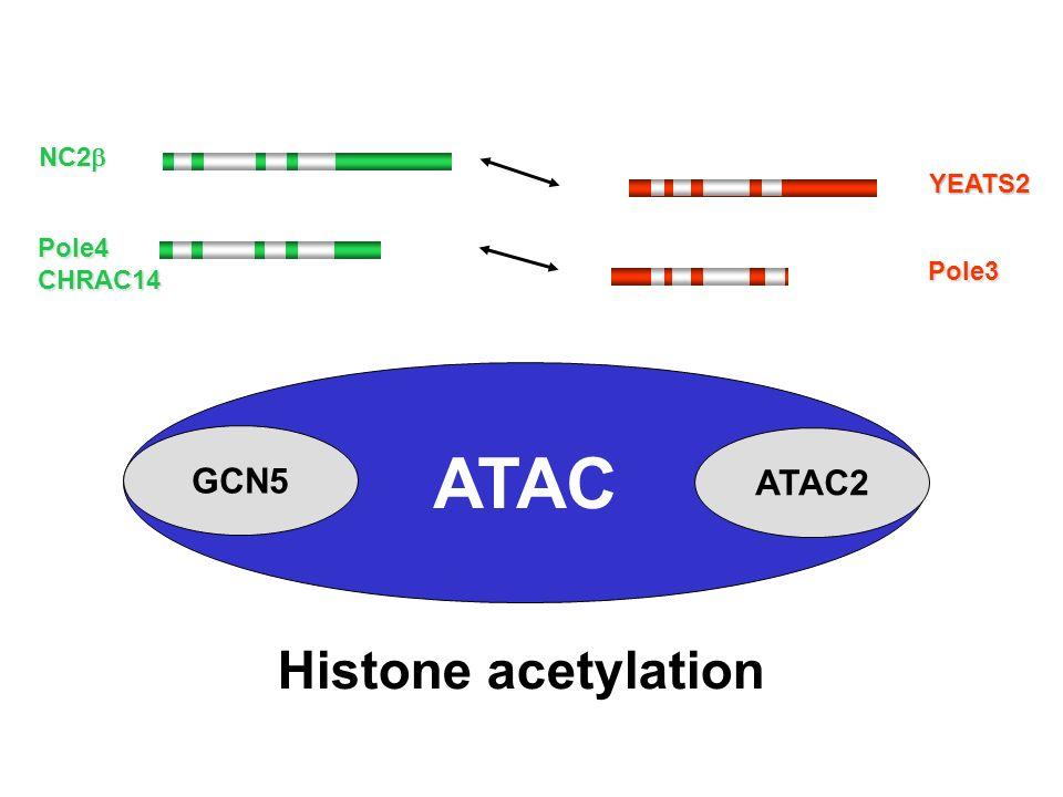 NC2 NC2 Pole4CHRAC14 Histone acetylation YEATS2 ATAC Pole3 GCN5 ATAC2