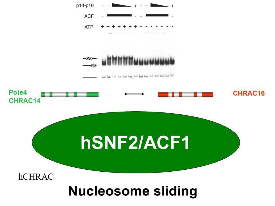 Nucleosome sliding hSNF2/ACF1 Pole4CHRAC14 CHRAC16 hCHRAC