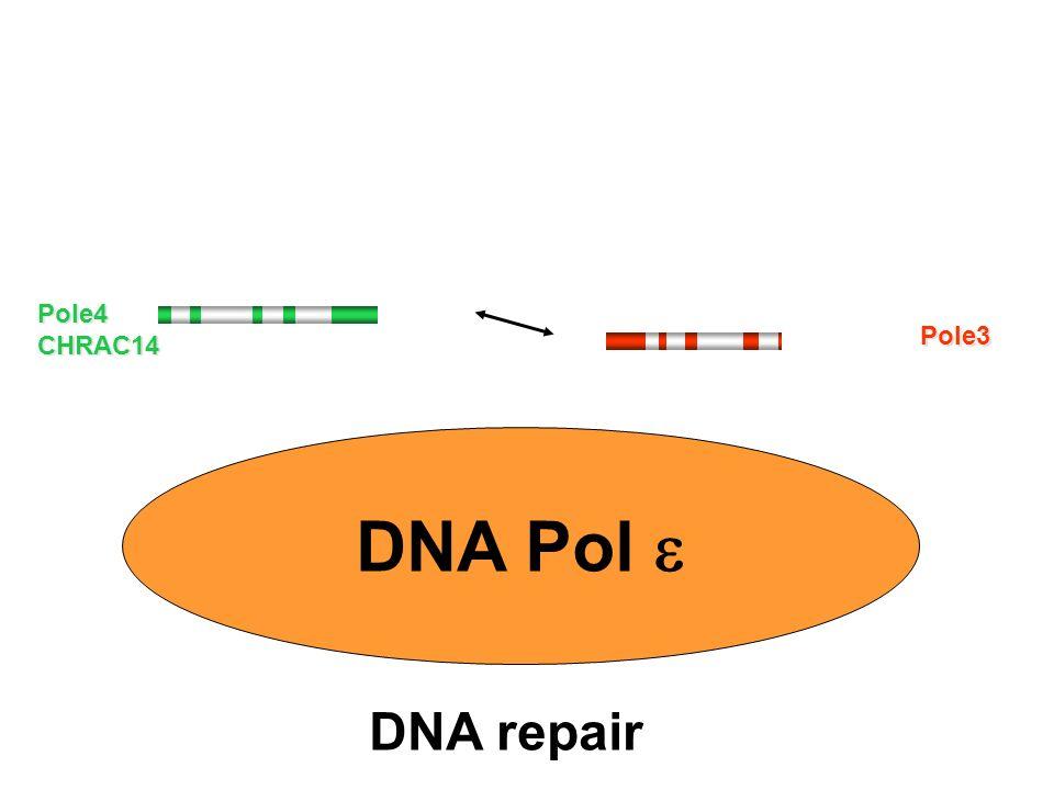 DNA Pol DNA repair Pole4CHRAC14 Pole3