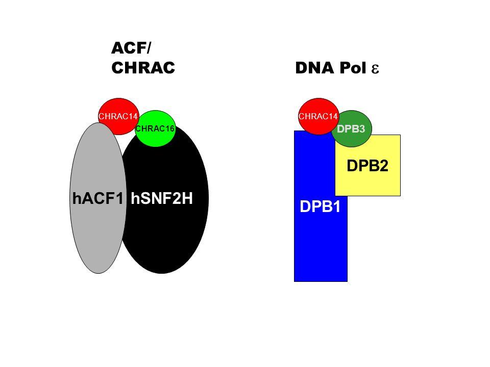 hSNF2H DPB1 DPB2 ACF/ CHRAC CHRAC16 CHRAC14 hACF1 DNA Pol DPB3 CHRAC14