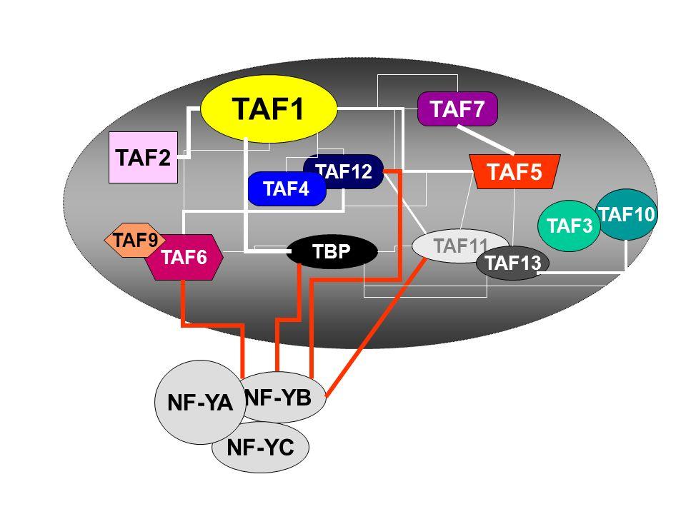 TAF10 TAF5 TAF11 TAF13 TAF7 TAF12 TAF1 TAF6 TAF9 NF-YB NF-YC TBP TAF3 TAF4 TAF2 NF-YA