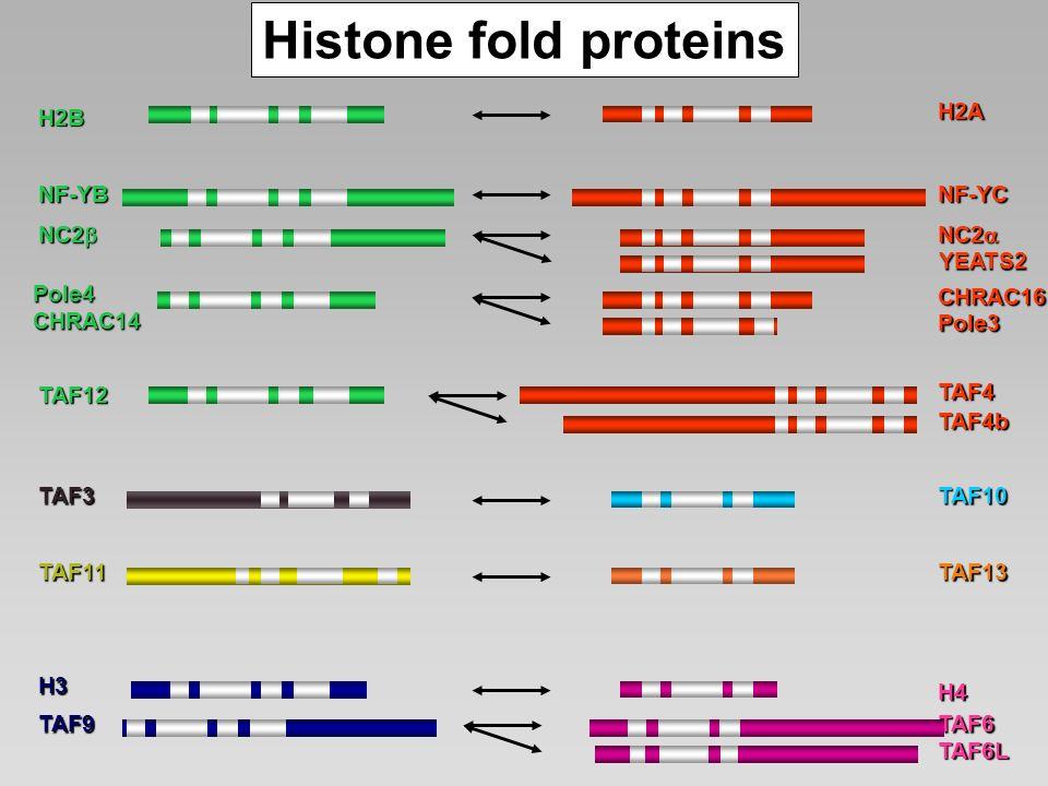 H2B NF-YB NC2 NC2 Pole4CHRAC14 H2A NF-YC CHRAC16 Pole3 TAF12 H3 H4 TAF6TAF9 Histone fold proteins TAF11TAF13 TAF6L TAF4 TAF4b TAF3 TAF10 YEATS2