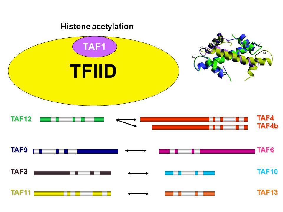 TAF12 TAF6TAF9 TAF11TAF13 TAF4 TAF4b TAF3 TAF10 TFIID TAF1 Histone acetylation