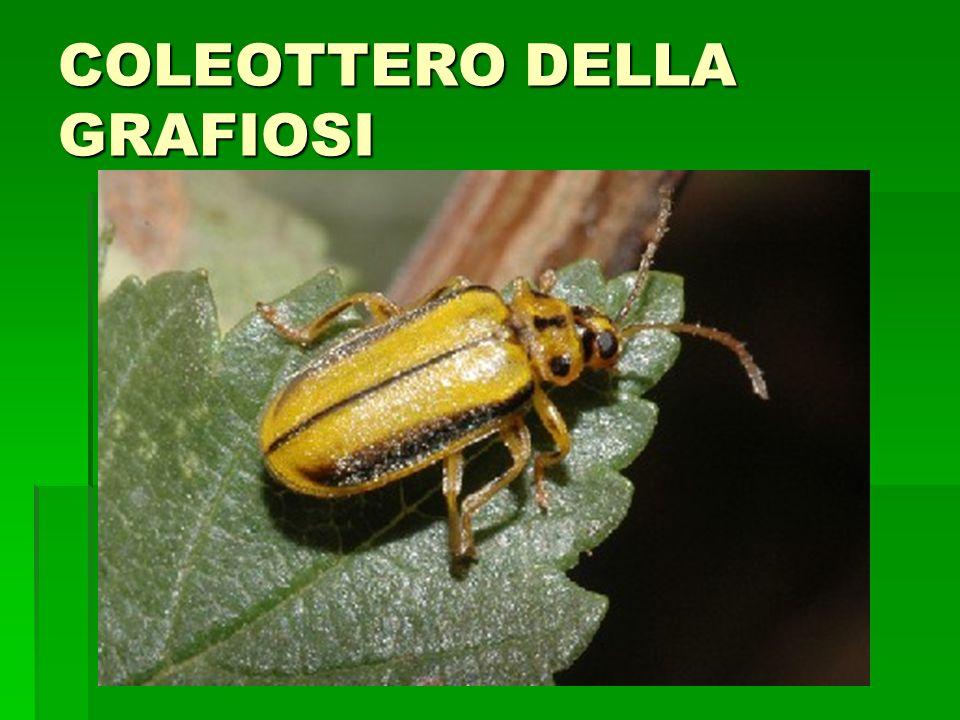 COLEOTTERO DELLA GRAFIOSI