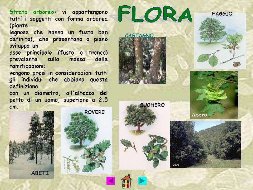 SUGHERO ROVERE ABETI Strato arboreo: vi appartengono tutti i soggetti con forma arborea (piante legnose che hanno un fusto ben definito), che presenta