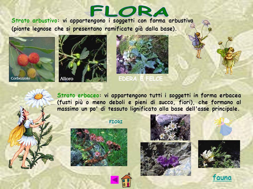 Strato arbustivo: vi appartengono i soggetti con forma arbustiva (piante legnose che si presentano ramificate già dalla base). EDERA E FELCE Strato er
