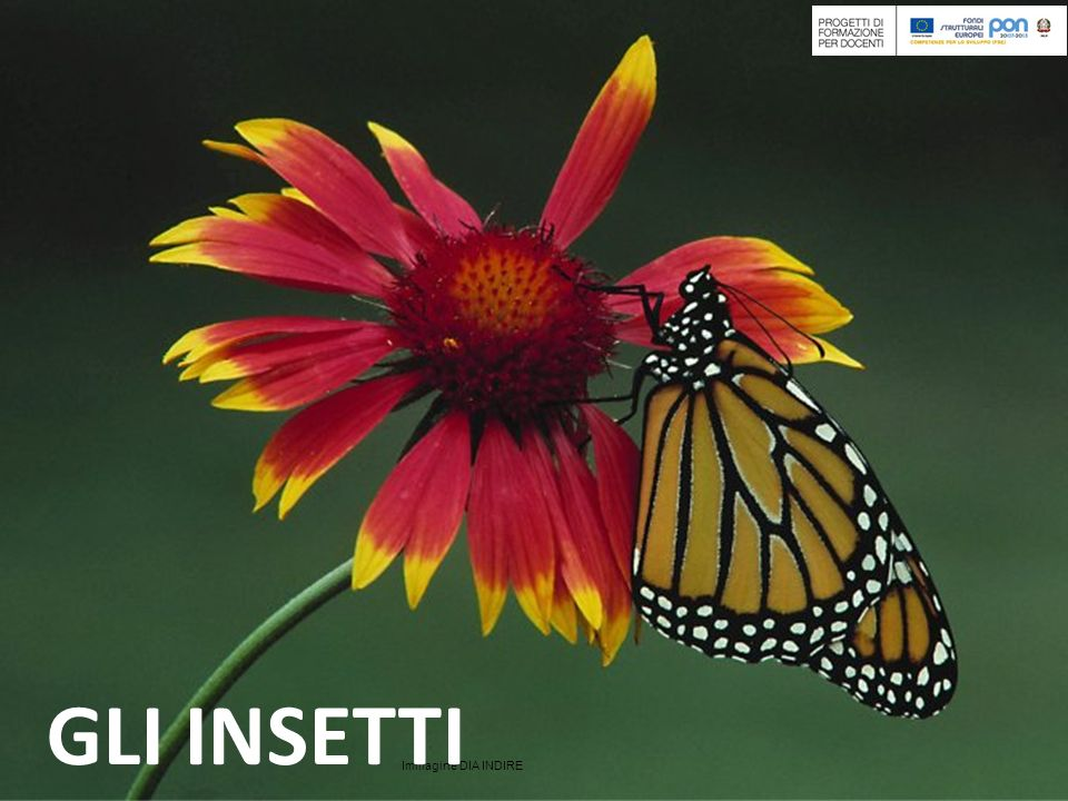 Immagine DIA INDIRE Gli insetti: organismi di successo La classe degli insetti appartiene al tipo Arthropoda.