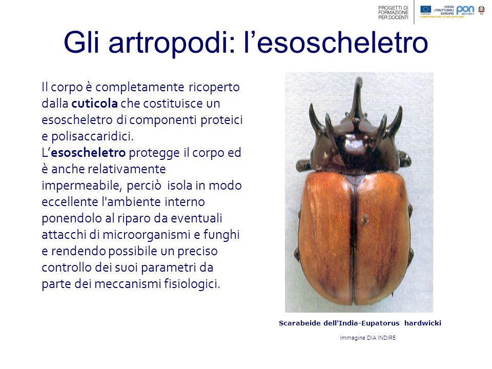 Gli insetti: la metamorfosi Una volta che l insetto all interno si è formato, inizia a spingere contro il guscio della crisalide che si rompe permettendo l uscita dell adulto.