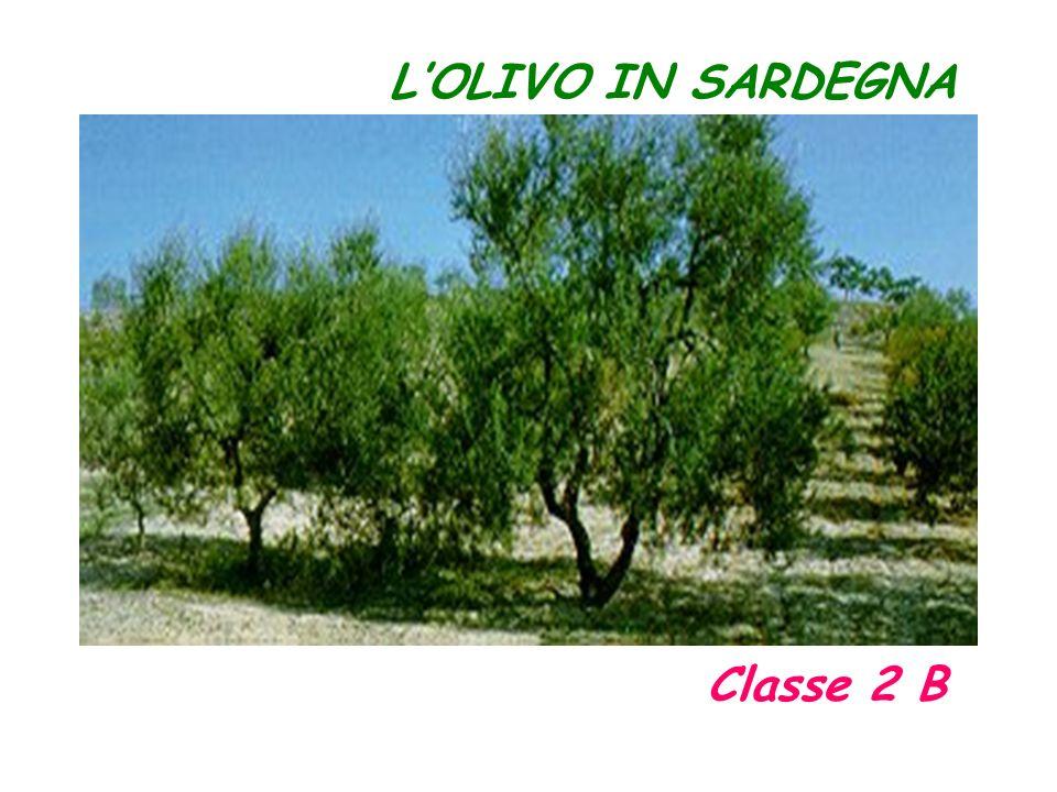 LOLIVO IN SARDEGNA Classe 2 B