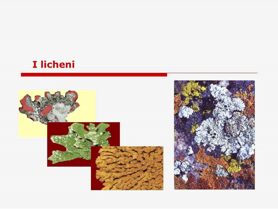I licheni sono il risultato dell unione stabile tra due diversi organismi viventi: un fungo ed un alga.