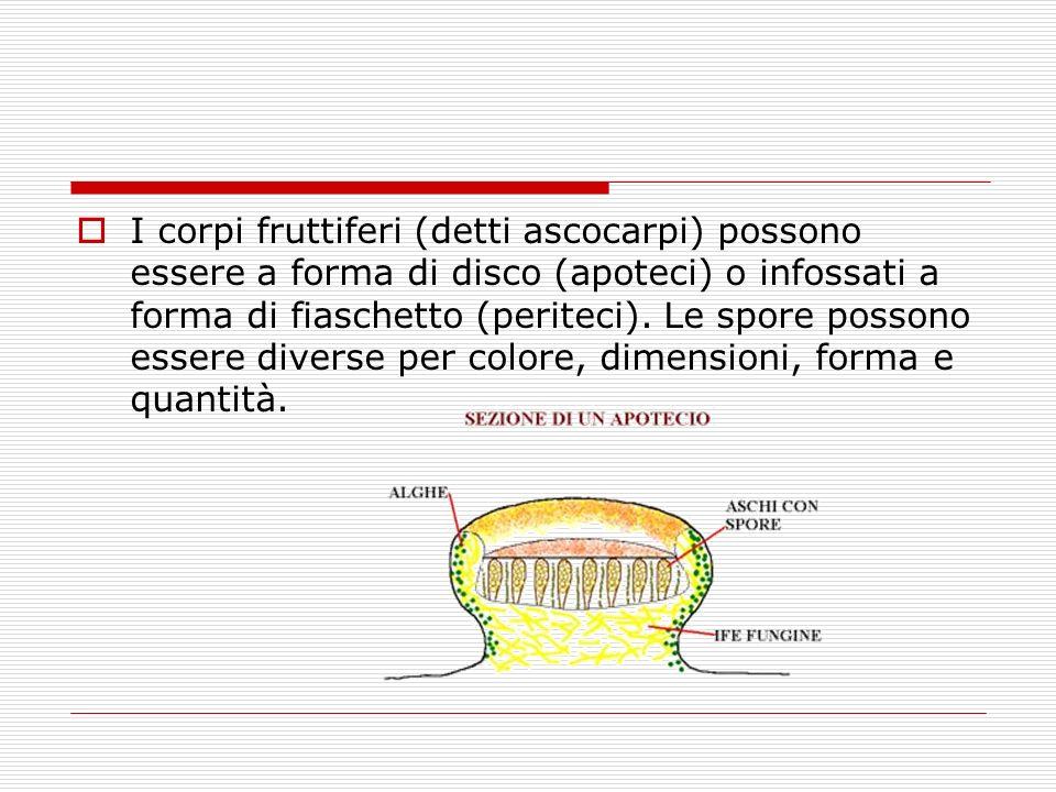 I corpi fruttiferi (detti ascocarpi) possono essere a forma di disco (apoteci) o infossati a forma di fiaschetto (periteci). Le spore possono essere d