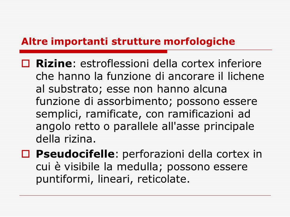 Altre importanti strutture morfologiche Rizine: estroflessioni della cortex inferiore che hanno la funzione di ancorare il lichene al substrato; esse