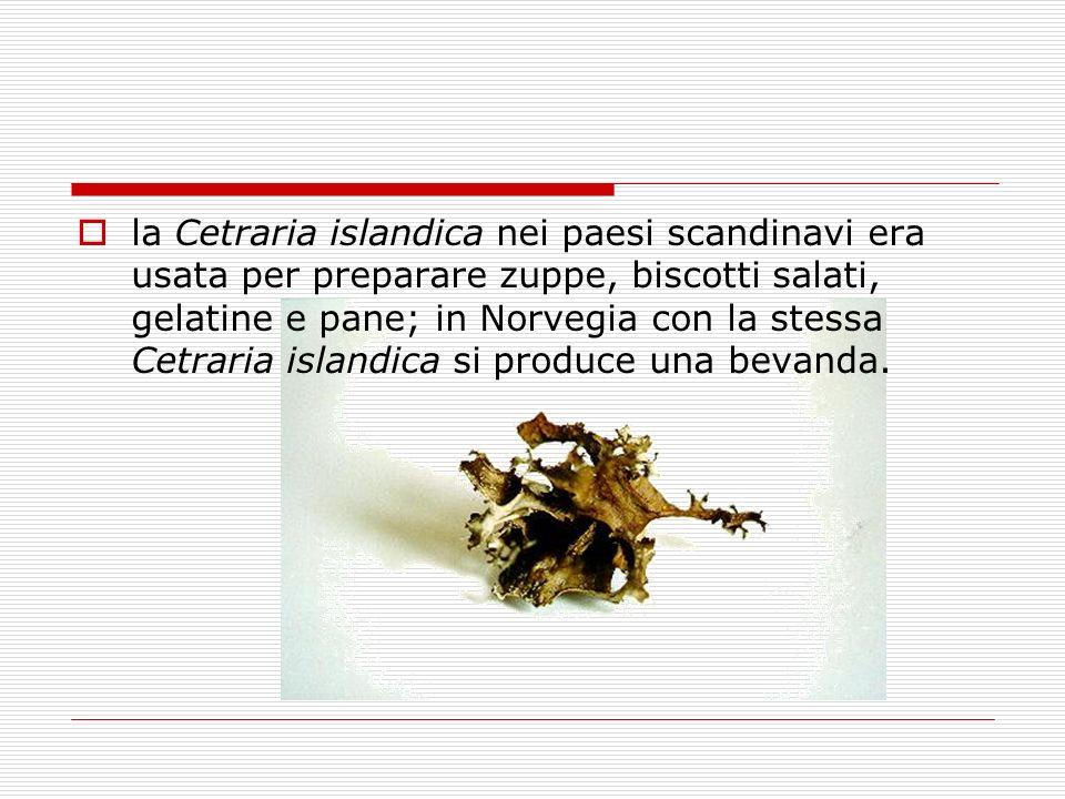 la Cetraria islandica nei paesi scandinavi era usata per preparare zuppe, biscotti salati, gelatine e pane; in Norvegia con la stessa Cetraria islandi