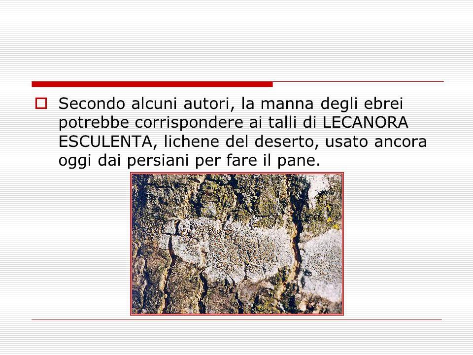 Secondo alcuni autori, la manna degli ebrei potrebbe corrispondere ai talli di LECANORA ESCULENTA, lichene del deserto, usato ancora oggi dai persiani