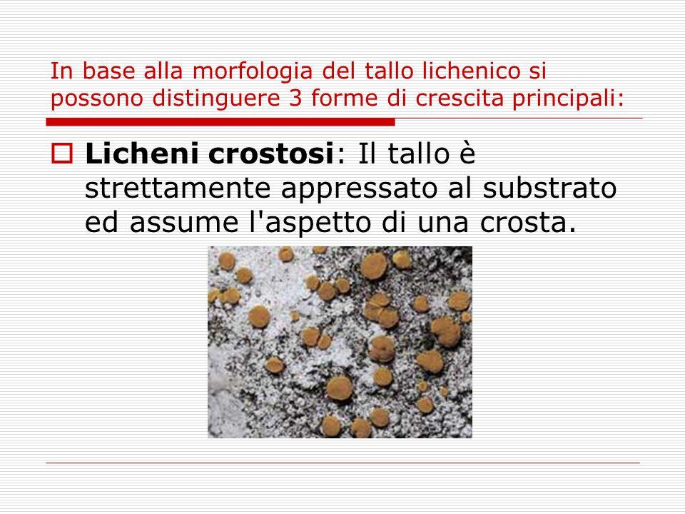In base alla morfologia del tallo lichenico si possono distinguere 3 forme di crescita principali: Licheni crostosi: Il tallo è strettamente appressat